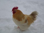 Nov 23 Beautiful Rooster in Snow